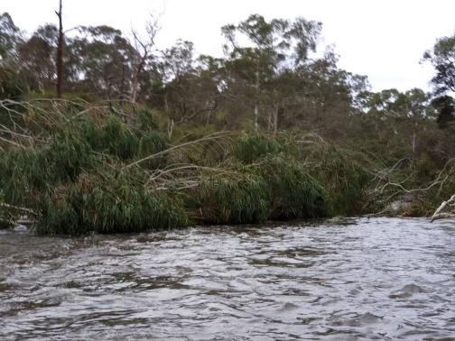 Tree Down Yarra River